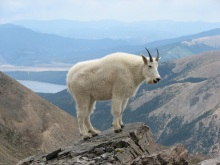 Mountain_Goat_Mount_Massive
